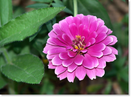 Beautiful Deep Pink Flower