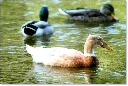 Ducks in Live Oak, Texas