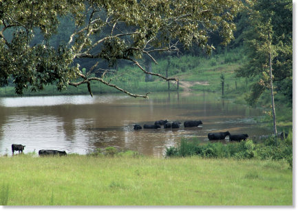 Cattle Soaking in a Watering Hole