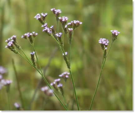 Weeds with Tiny Flower Blooms