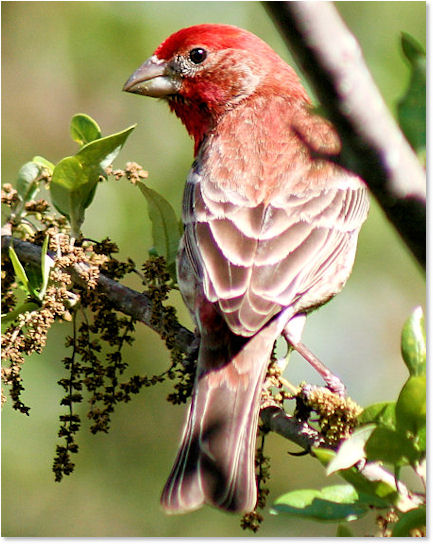 Stunning Red Finch