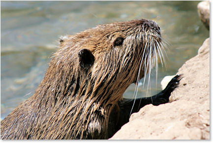 This river rat (Nutria) is really fighting for some attention here!