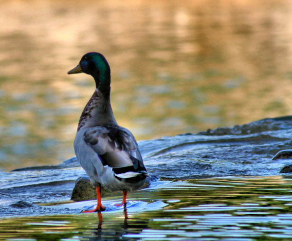 Even ducks know how to, just be...