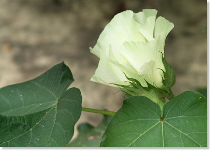 White Cotton Bloom