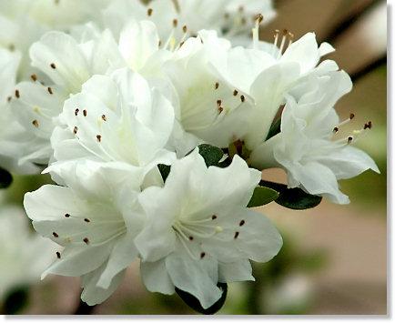 White Azalea Close-up