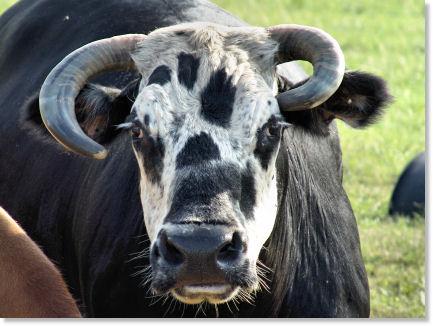 Ugliest Dang Cow!