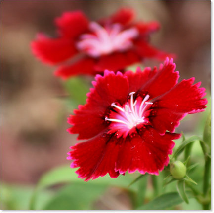 Bright red summer flowers