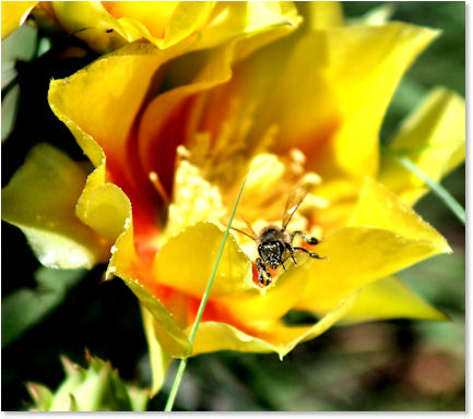 The cacti are blooming and the bees are pollinating . . .