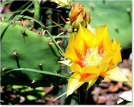 Cactus Blooming in the Hill Country