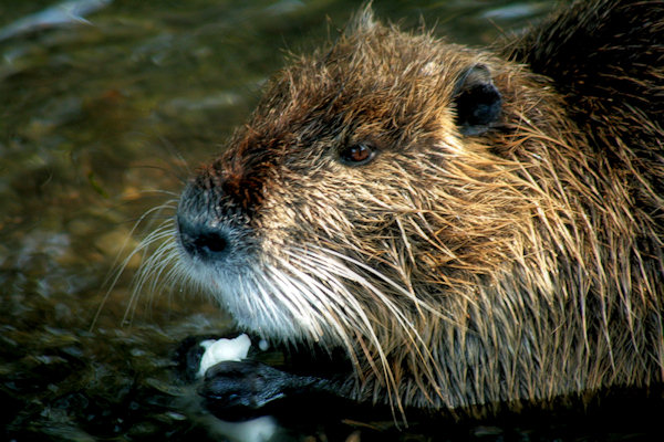I have never been able to pet a Nutria